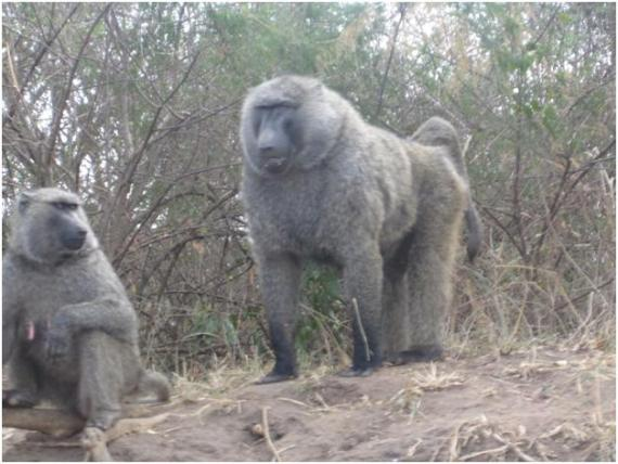 two baboons by the road
