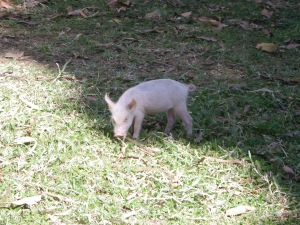Pig on CSJ grounds